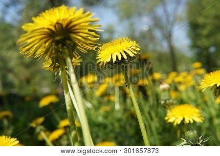 Yellow Dandelion Flowers Taraxacum Officinale On Spring Sunny Day. Blooming Dandelion.