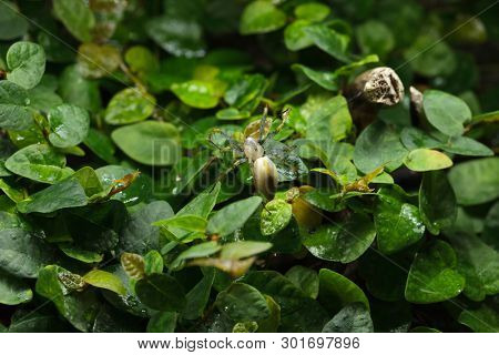 Malagasy green lynx spider (Peucetia madagascariensis). Wildlife animal.