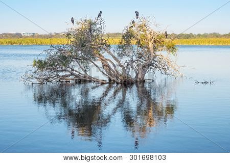 Little Black Cormorants On A Submerged Paperbark Tree At Herdsman Lake In Perth, Western Australia.