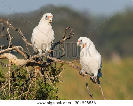 Little Corellas Perched On A Branch At Herdsman Lake In Perth, Western Australia.