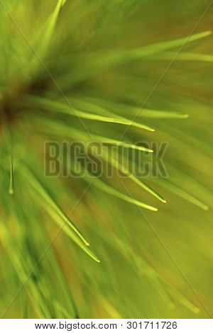 Close-up Of  Fir-needles, Selected Focus. Empty Space For Text.