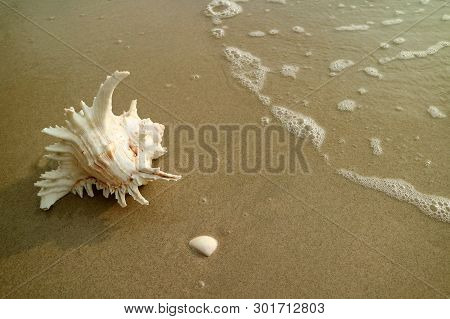 Natural Branched Murex Shell Isolated On Wet Sand Beach With The Backwash