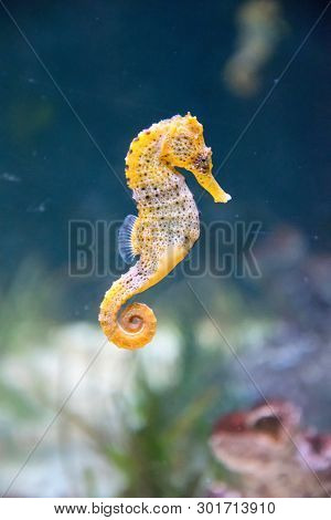 Seahorse In The Water. Beautiful Marine Life.