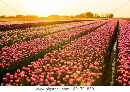 In Late April Through Early May, The Tulip Fields In The Netherlands Colourfully Burst Into Full Blo