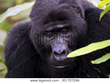 Close-up Of A Male Mountain Gorilla (gorilla Beringei Beringei). Bwindi Impenetrable National Park,