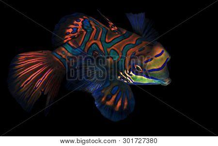 Mandarinfish (aka Mandarin Dragonet, Synchiropus Splendidus) On Black Background. Moalboal, Philippi