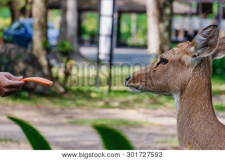 Eld's Deer (rucervus Eldii Siamensis) Being Fed