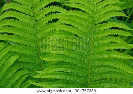 Natural  Green Texture From Large Green Fern Leaves