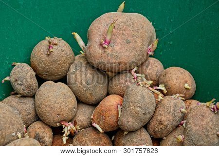 Heap Of Brown Raw Dirty Potatoes On Green Background