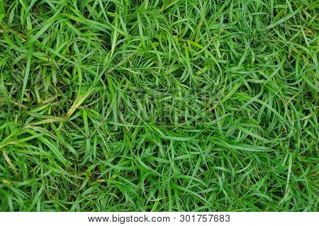 Natural Plant Texture Of Long Green Grass On The Lawn