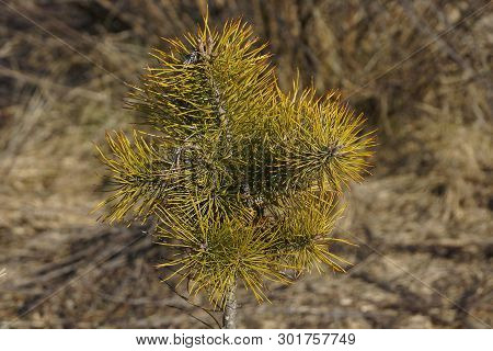 Small Pine With Green Branches In Nature In The Forest
