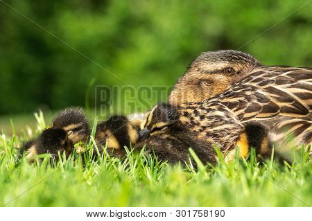 Mother Mallard Duck (anas Platyrhynchos) Keeps A Watchful Eye On On Her Newly Hatched Ducklings Whil