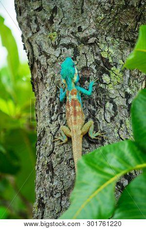 Closeup Of A Blue Lizard On A Tree In Thailand; Calotes Mystaceus