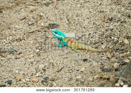 Blue Lizard On The Ground In Thailand; Calotes Mystaceus