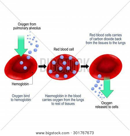 Respiration. Gas Exchange In Humans. Path Of Red Blood Cells: From Oxygen Binding And Hemoglobin In
