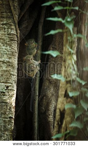Family of spectral tarsiers, Tarsius spectrum, portrait of rare endemic nocturnal mammals, small cute primate in large ficus tree in jungle, Tangkoko National Park, Sulawesi, Indonesia, Asia poster