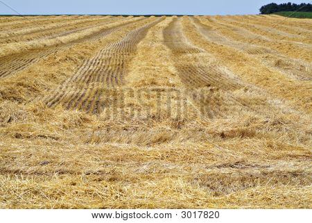 Harvested Wheatfield