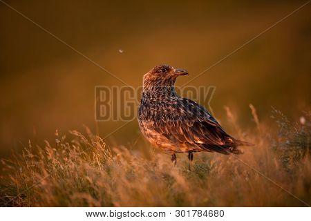 Stercorarius Skua. Norwegian Wildlife. Beautiful Picture. From The Life Of Birds. Free Nature. Runde