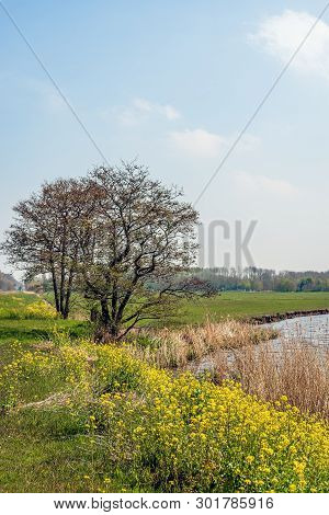 Budding Tree With Curly Branches  At The Edge Of The Water Of A Small Lake In The Netherlands. In Th
