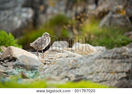 Larus Canus. Norwegian Wildlife. Beautiful Picture. From The Life Of Birds. Free Nature. Runde Islan