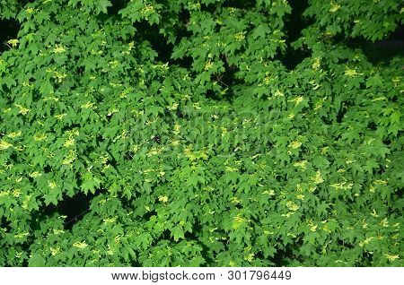 Green Flowering Maple Trees Close Up Top View