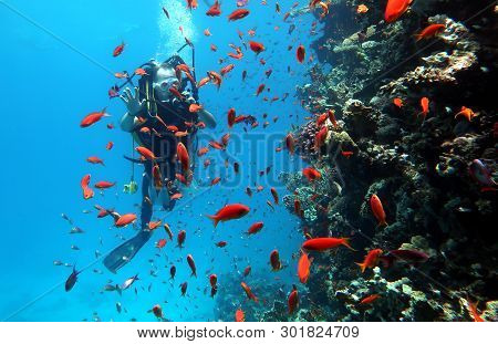 Diving In The Red Sea In Egypt, Beautiful Coral Reef With Hundreds Of Coral Fish. Scuba Divers Under