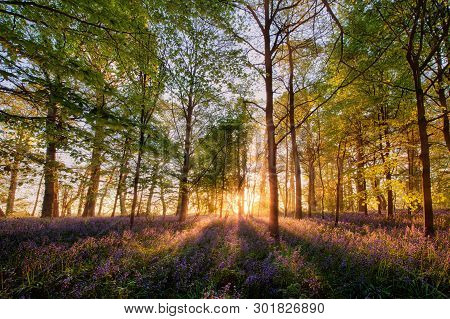 Magical Bluebell Woodland In Spring Time. Sunrise Forest Scene With Wild Purple  Flowers And Sun Ray