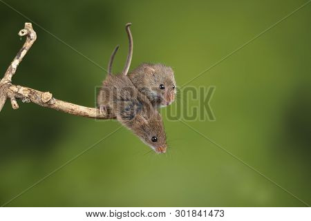 Cute harvest mice micromys minutus on wooden stick with neutral green background in nature poster