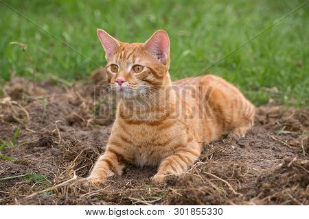 Young Red Cat Lies On The Dug Up Ground