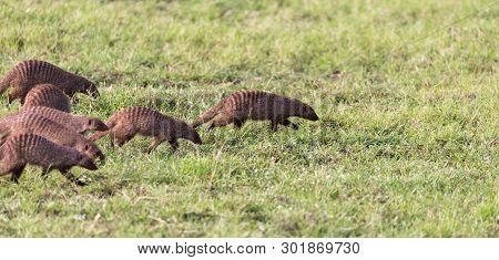 The Large Horde Of Mongooses Runs Through The Kenyan Savanna