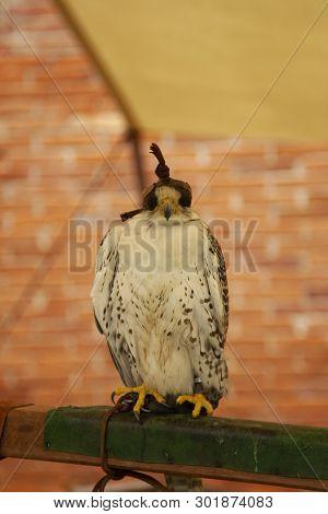 Falconry Predatory Bird Hooded Hawk Falconry Predatory Bird Hooded Hawk