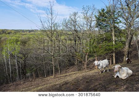 Atop Hills Overlooking Forests Of Flandrau State Park And Goats In Foreground In New Ulm Minnesota