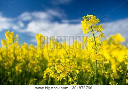 Rapeseed Field. Blooming Canola Flowers Close Up. Rape On The Field In Summer. Bright Yellow Rapesee