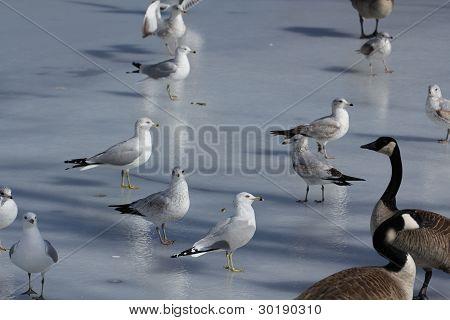 Seagulls Skating