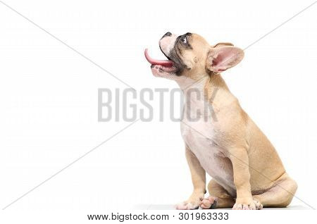 French Bulldog Hungry Isolated On White Background With Copy Space, Cute Pet Concept