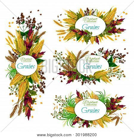 Cereal Grains Of Wheat, Rye And Buckwheat Posters. Vector Organic Agriculture Food Ingredients, Natu