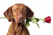 dog holding stem of red rose in mouth poster