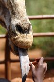 A vertical image of a giraffe being hand fed with its tongue out by an African boy poster