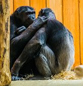 common chimpanzee couple being very intimate together, Apes expressing love to each other, primate behavior poster