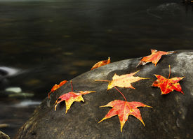 Colorful maple leaves on the rock