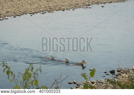Spotted Deer Or Chital Or Axis Axis Herd Swimming In Water To Cross Ramganga River At Dhikala Zone O