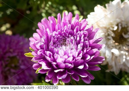 Aster Flowers. Asters Close-up On A Background Of Greenery. Purple Asters In Early September. Select