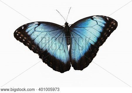 Blue Morpho, Morpho Peleides, Butterfly With Open Wings Against White Background