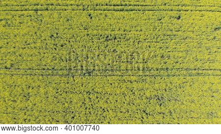Aerial Top View Of Yellow Canola Field. Harvest Blooms Yellow Flowers Canola Oilseed. Rural Field Pl