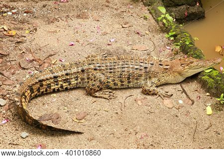Saltwater Crocodile Waiting For Prey By The River In The Tropical Jungle. Crocodylus Porosus Basks I