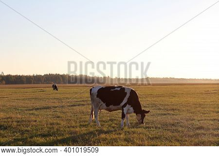 A Field With Cows Against The Background Of A Forest And A Cloudless Sky. Rural Landscape With Mamma