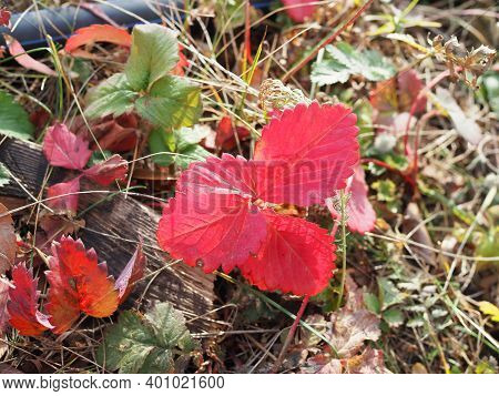 Close Up, Macron On Colorful Autumn Leaves. Garden Strawberry Leaf In Brown, Red, Orange And Yellow