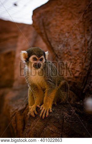 Cute Squirrel Monkey Saimiri On Tree With Orange Background