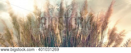 Beautiful, High Dry Seeds Of Reed - Cane, Dry Reed, Dry Cane In Meadow Lit By Sunlight