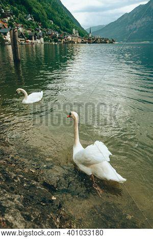 Lovely Couple Swans At Lake Hallstatt City On Background Austria